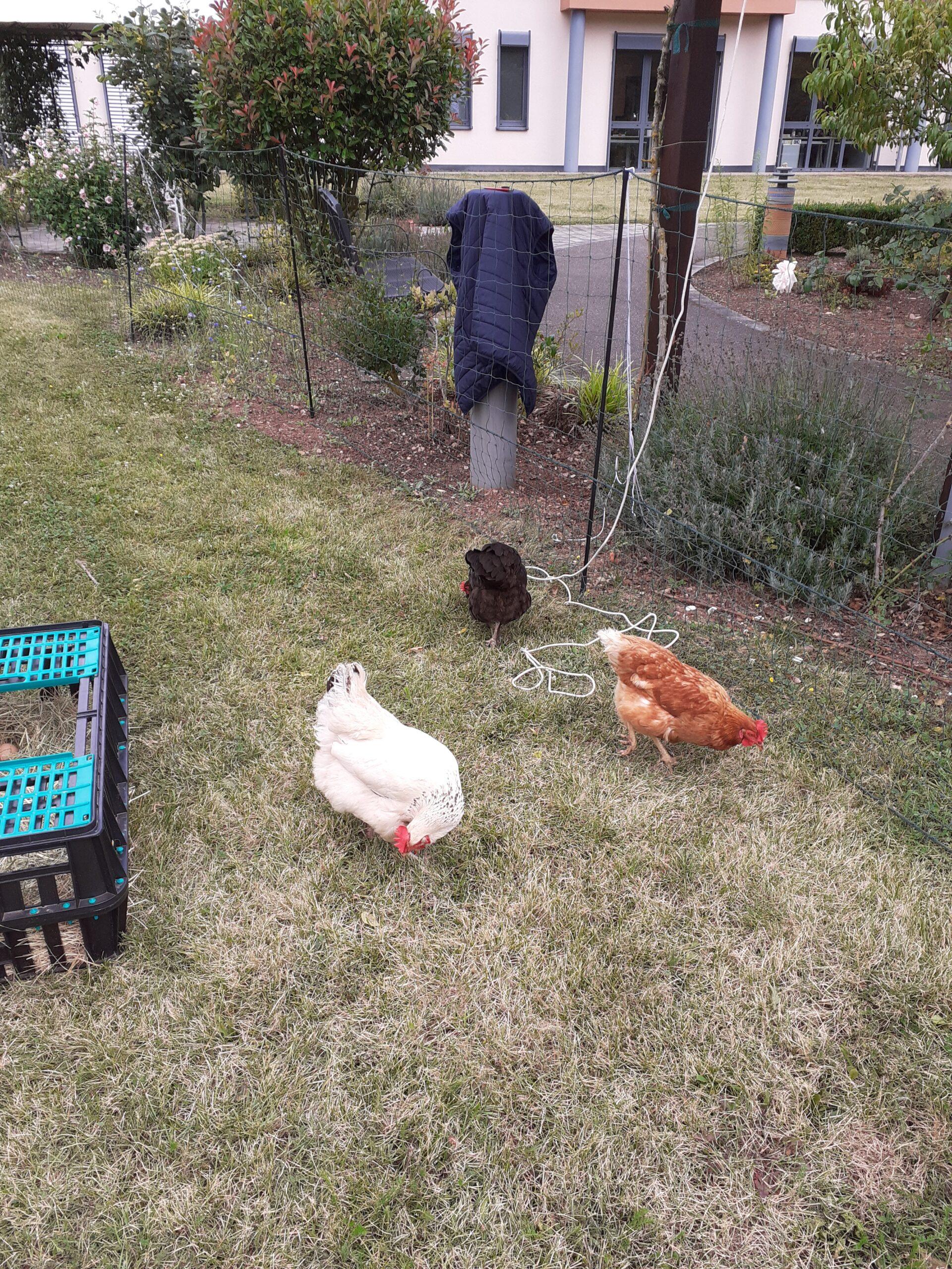 Leihhühner für 3 Wochen im Luisengarten